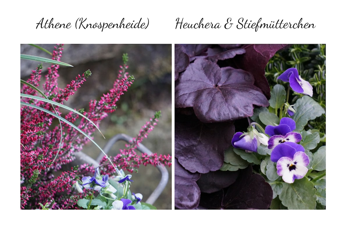 Blumenkübel mit Athene Heuthera Stiefmuetterchen