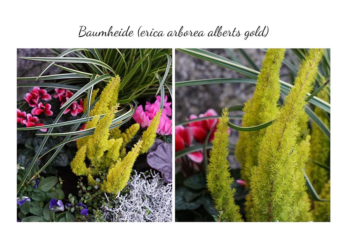 Blumenkübel Baumheide