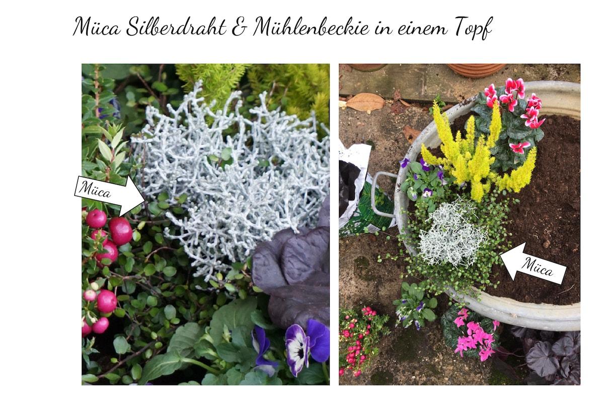 Kübelpflanze Müca - Silberdraht & Mühlenbeckie